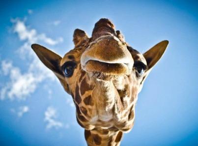girafe-tete