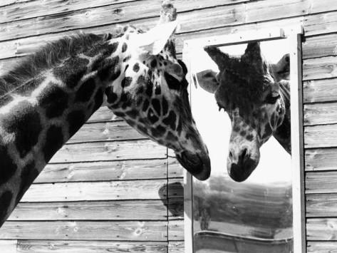 girafe-miroir